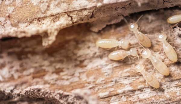 Termites représentées sur un morceau de bois